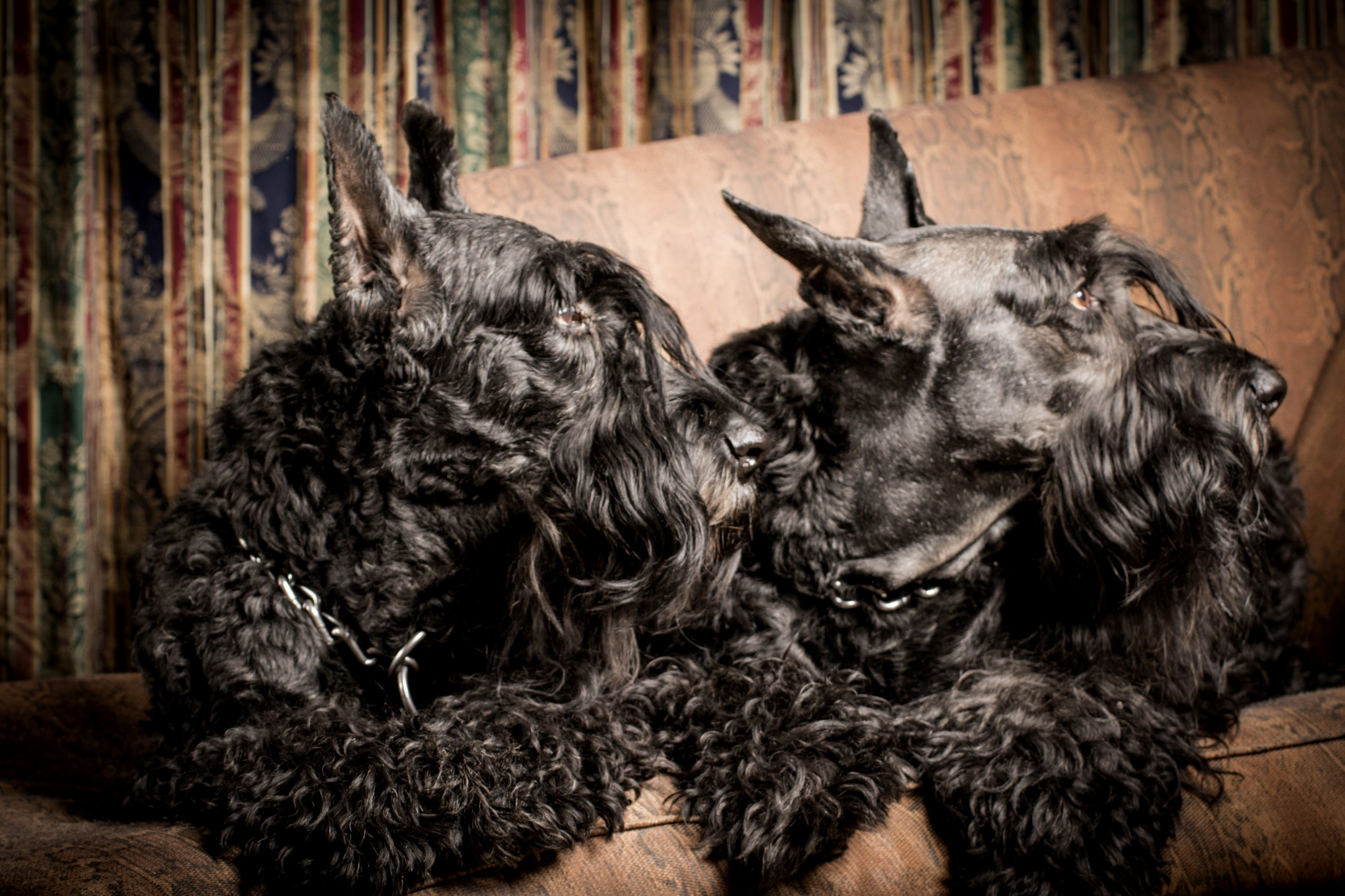 Giant_Schnauzers_Of_America_Top_Dogg_